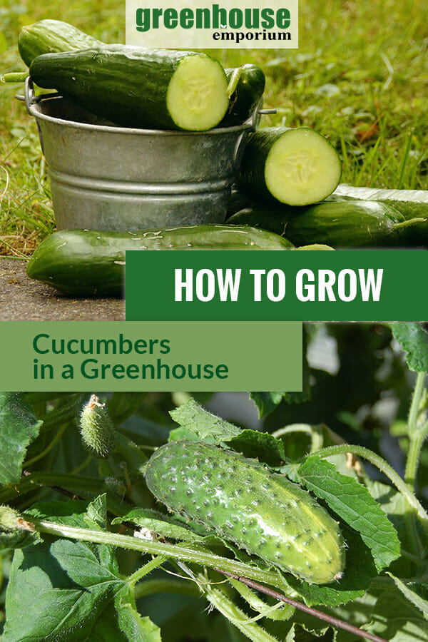 Planted cucumbers and some sliced cucumbers in the bucket with the text: How to grow cucumbers in a greenhouse