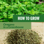 Dried and fresh oregano leaves with the text: How to grow oregano in a greenhouse.