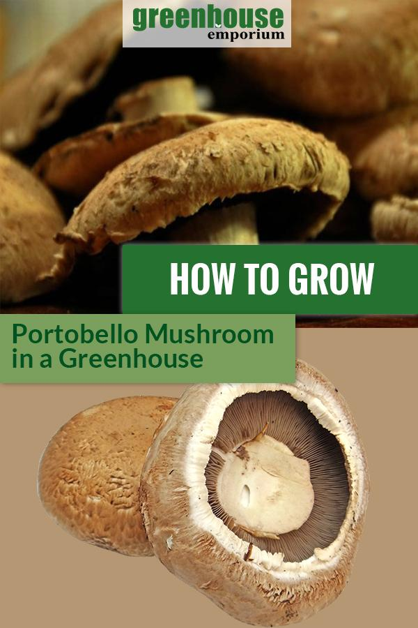 Portobello mushrooms with the text: How To Grow Portobello Mushrooms in a Greenhouse