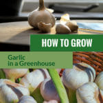 At the top is a garlic bulb and cloves and below are various garlic bulbs with the text in the middle: How to grow garlic in a greenhouse