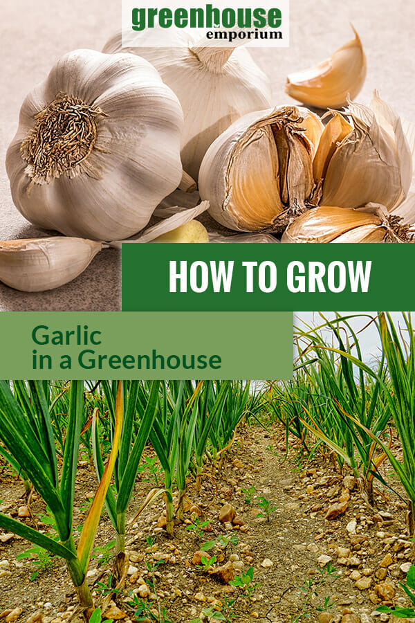AT the top are pieces of garlic and below are planted garlic in rows with the text in the middle: How to grow garlic in a greenhouse