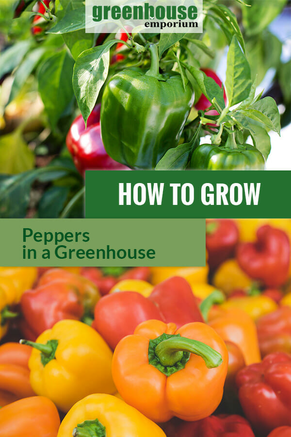 Paprika or pepper plant with the text: How to grow peppers in a greenhouse