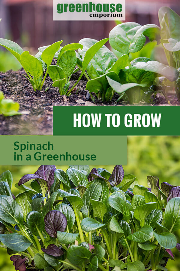 Spinach with the text: How to grow spinach in a greenhouse