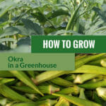 Okra plants and fruits with the text: How to grow okra in a greenhouse