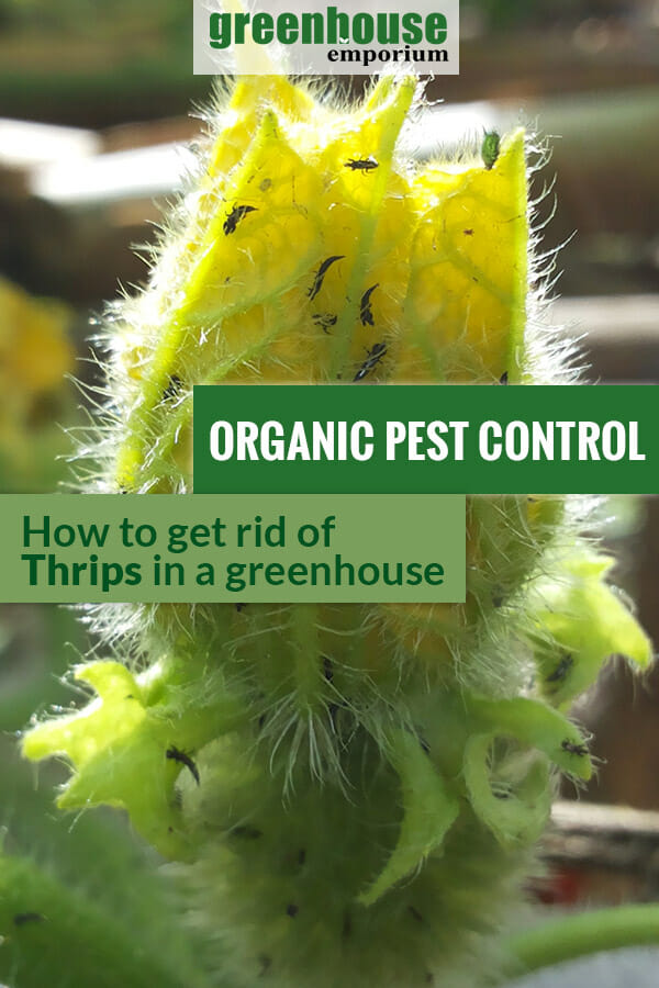 Thrips infestation shown in a plant. The text in the middle says, Organic Pest Control How to Get Rid of Thrips in a Greenhouse