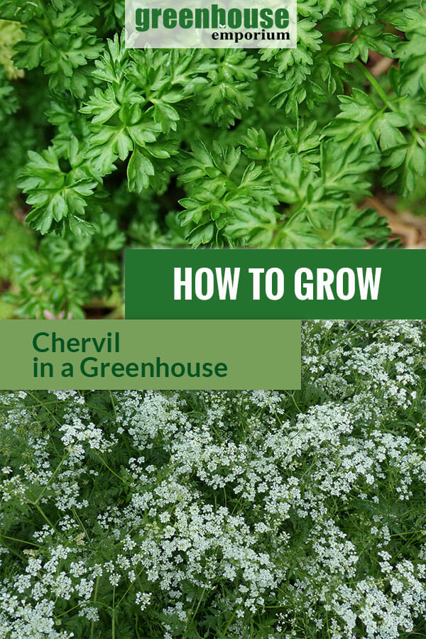 Chervil with dark green leaves and umbel looking flowers with the text: How to grow chervil in a greenhouse