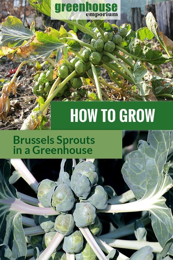 Ready to harvest Brussels sprouts with the text: How to grow Brussels sprouts in a greenhouse