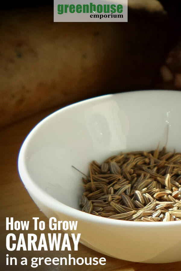 Caraway seeds in a white bowl with the text: How to grow caraway in a greenhouse