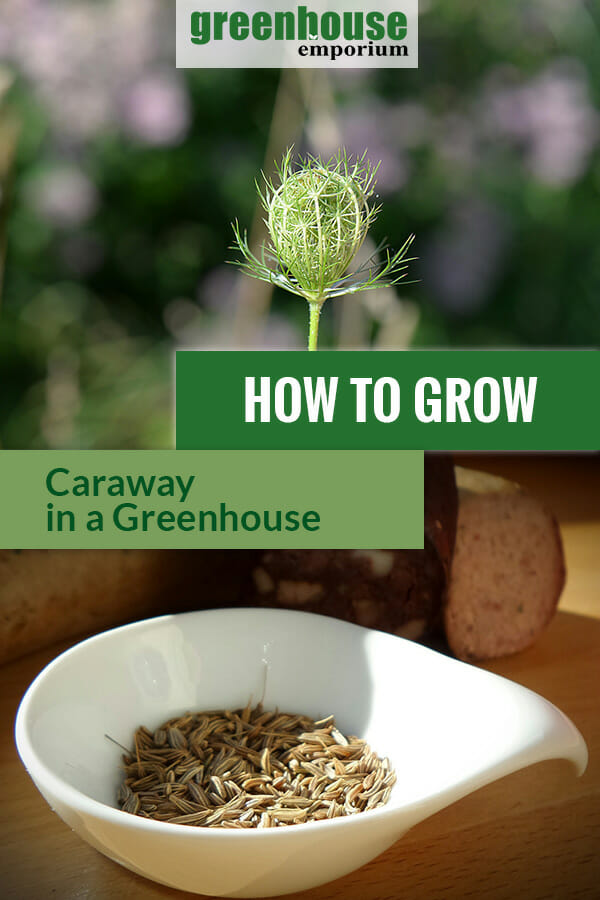 Caraway plant and caraway seeds in a white bowl with the text: How to grow caraway in a greenhouse