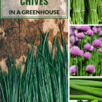 Chopped ready to cook chives and beautiful flowers with the text: How to grow chives in a greenhouse