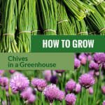 Bundles of chives and its beautiful flowers with the text: How to grow chives in a greenhouse