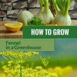 Fennel flowers, bulb and tea with the text: How to grow fennel in a greenhouse