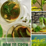 Herb tea, fennel flowers and bulb with the text: How to grow fennel in a greenhouse