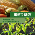 Sweet corn or maize with the text: How to grow sweet corn in a greenhouse