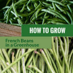 Harvested French beans with dark and light green colors with the text: How to grow French beans in a greenhouse