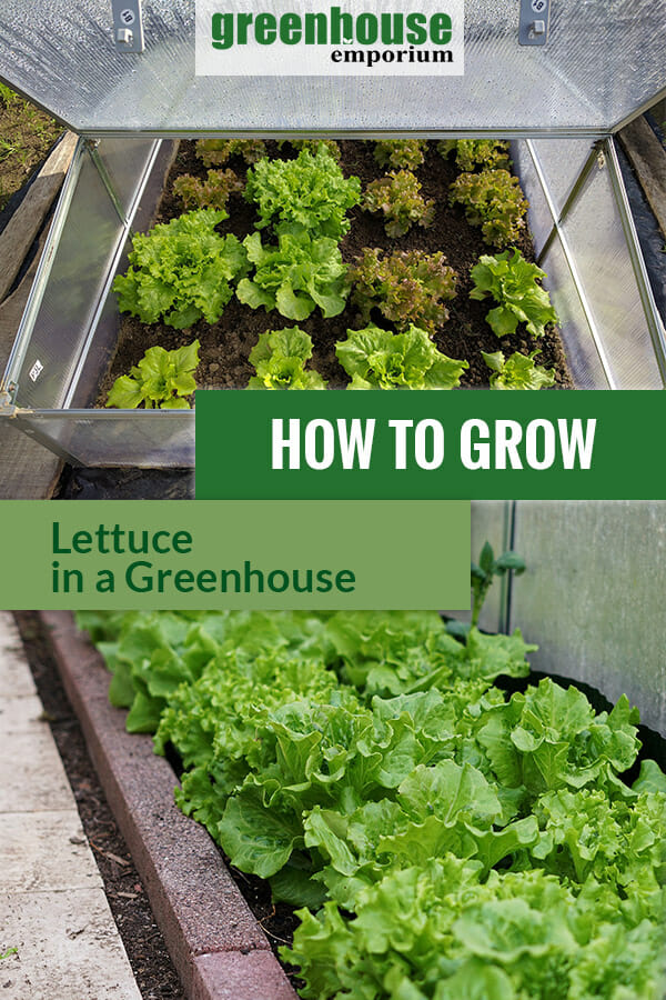 How To Grow Lettuce In A Greenhouse Greenhouse Emporium
