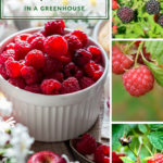 Raspberries in a bowl on a table and three tiny images show raspberries on the plant. The text at the top says: How to Grow Raspberries in a Greenhouse