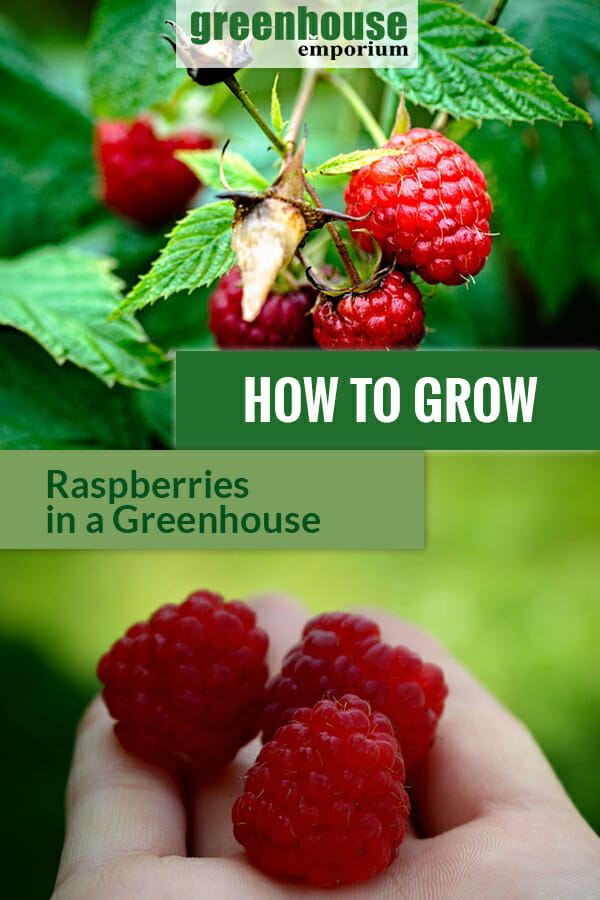 Raspberries on a hand and raspberries on the plant. The text in the middle says: How to Grow Raspberries in a Greenhouse