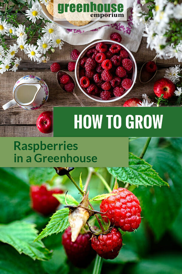 Raspberries in a bowl on a table and raspberries on the plant. The text in the middle says: How to Grow Raspberries in a Greenhouse
