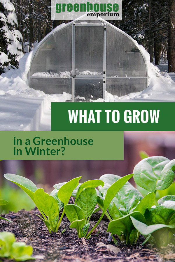 Greenhouse surrounded by snow and leafy greens at the bottom with the text: What to Grow in a greenhouse in Winter?