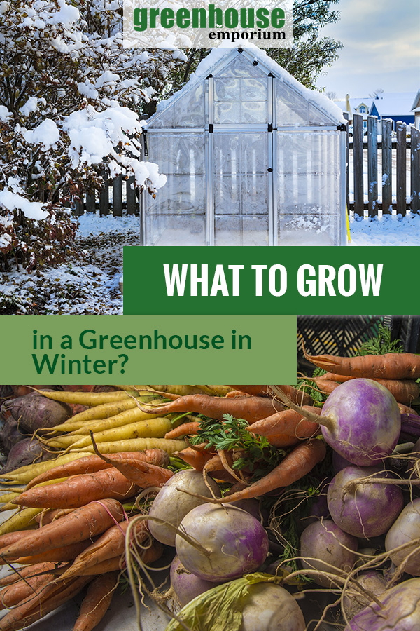 Greenhouse with snow in winter and root vegetables. The text in the middle says What to Grow in a Greenhouse in Winter?