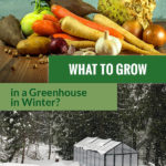 Root vegetables and a greenhouse in snow with the text: What to Grow in a greenhouse in Winter