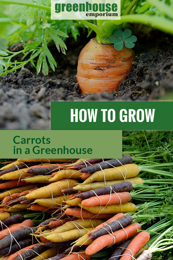 Planted carrot in soil and colorful varieties with the text: How to grow carrots in a greenhouse
