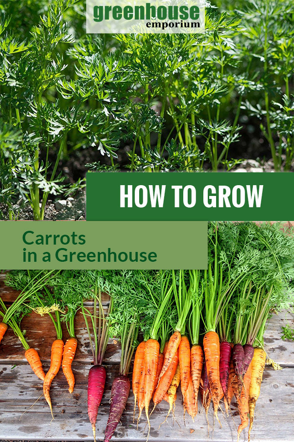 Carrot plants in soil and carrot varieties with the text: How to Grow Carrots in a Greenhouse