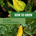 Zucchini blossom above and a yellow variety below with the text in the middle: How to grow zucchini in a greenhouse