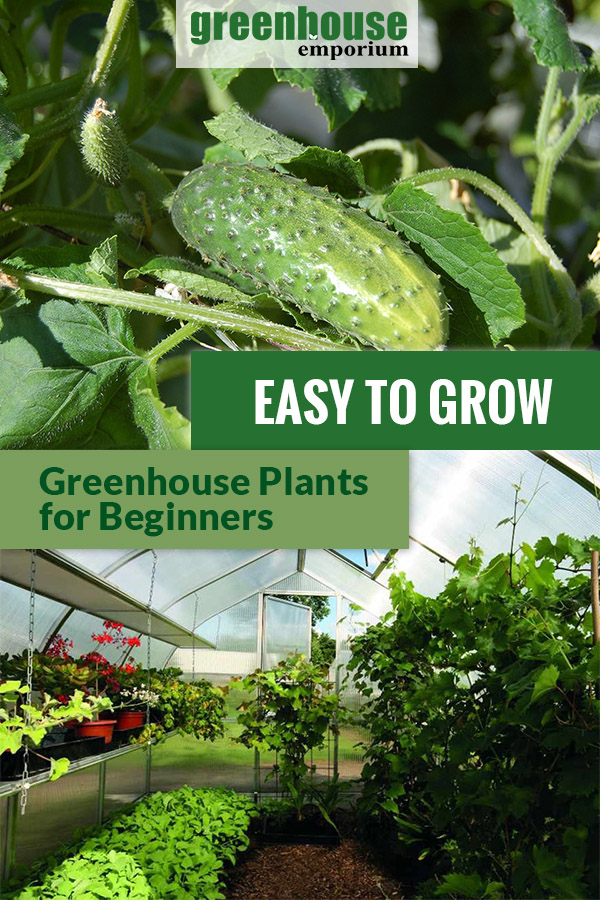 Cucumbers on top and the interior view of a greenhouse at the bottom with the text in the middle: Easy To Grow Greenhouse Plants for Beginners