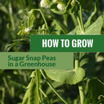 Sugar Snap Pea plant in the sun with the text: How to grow sugar snap peas in a greenhouse