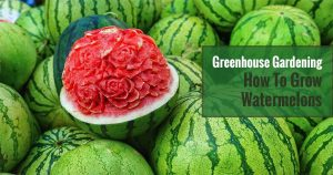 A rose-designed red watermelon together with a few more green striped watermelon. The text in the green box says Greenhouse Gardening - How To grow Watermelons