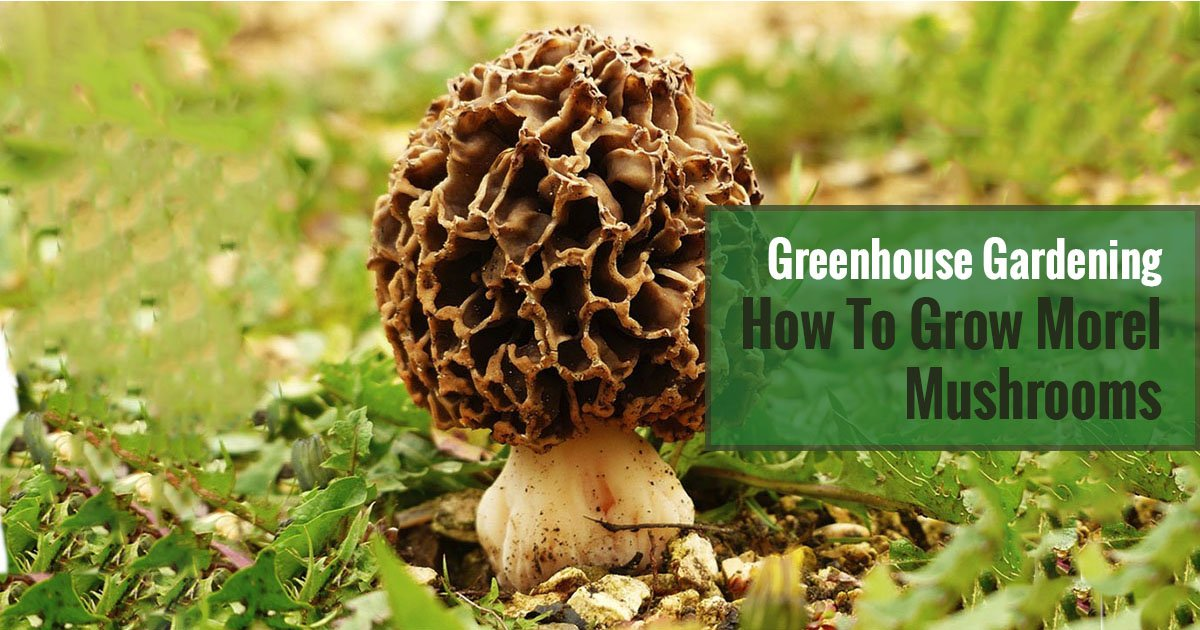 A morel mushroom with grasses around it and text in the green box saying Greenhouse Gardening - How to Grow Morel Mushrooms