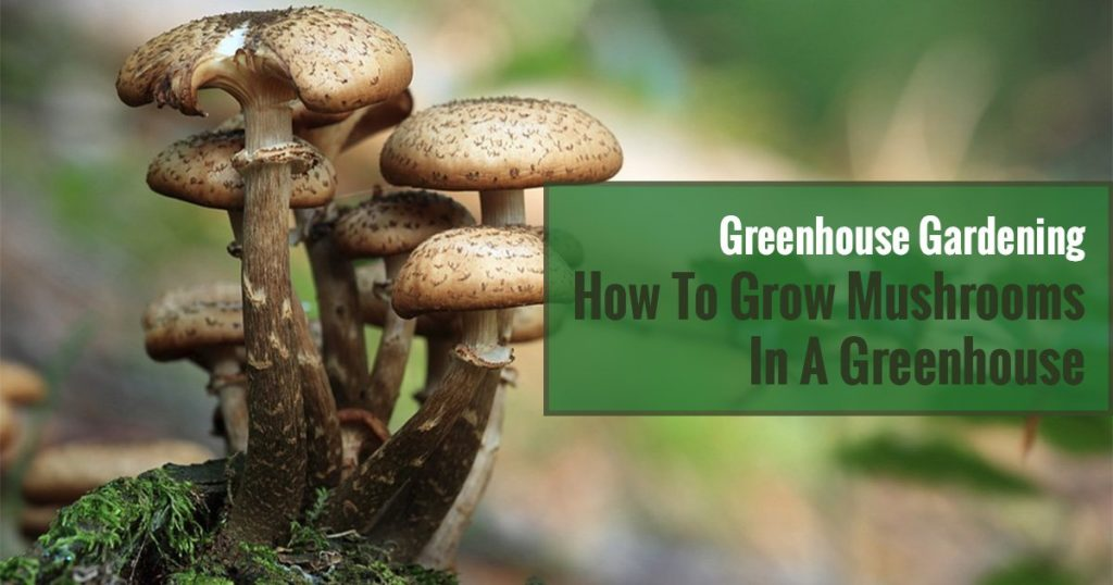 Brown mushrooms growing on a bark of a tree with texts in the green box saying Greenhouse Gardening How To Grow Mushrooms In A Greenhouse