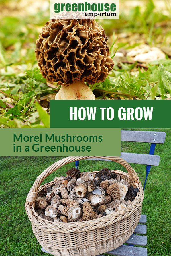 On the upper part is a brown Morel mushroom on the ground. Below are harvested morel mushrooms placed in a basket on a chair. Text says How to Grow Morel Mushrooms in A Greenhouse