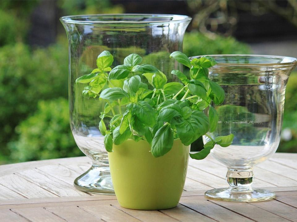 Basil planted in a green pot placed on a table. There are two clear pitchers on both sides