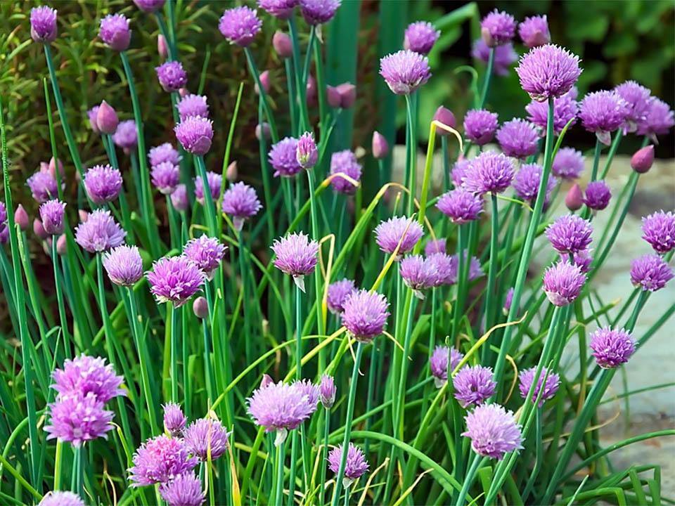 Planted chives with purple flowers