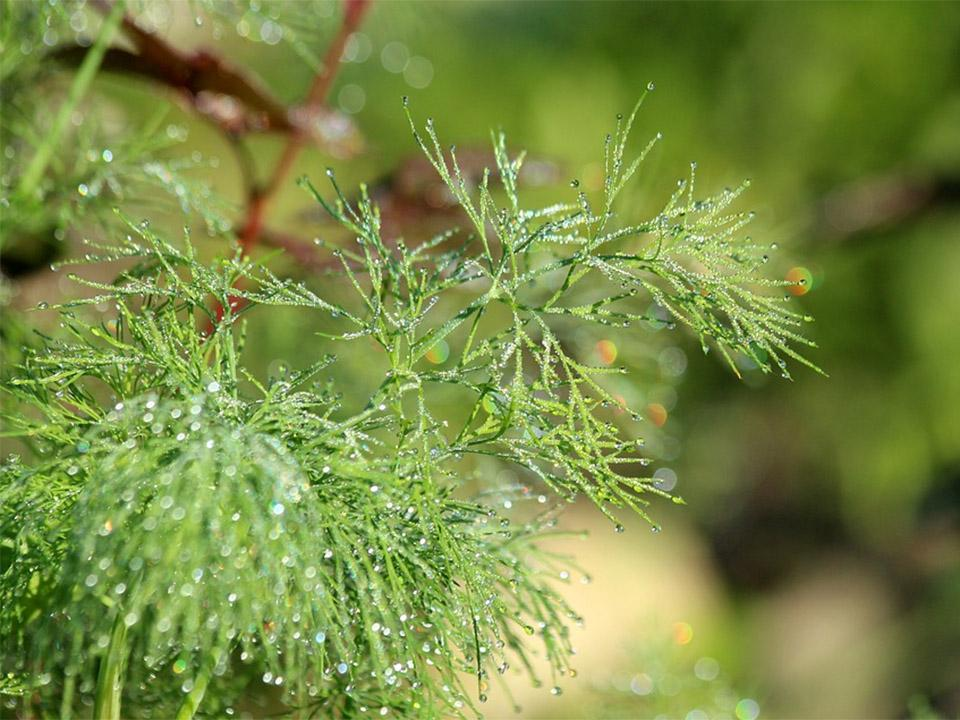 Freshly watered dill - You can see the water drops hanging on the fine dill branches