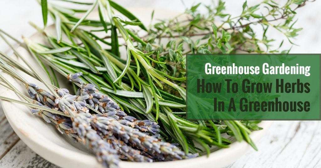 A variety of herbs in a white bowl with texts in the middle saying Greenhouse Gardening How to Grow Herbs in a Greenhouse