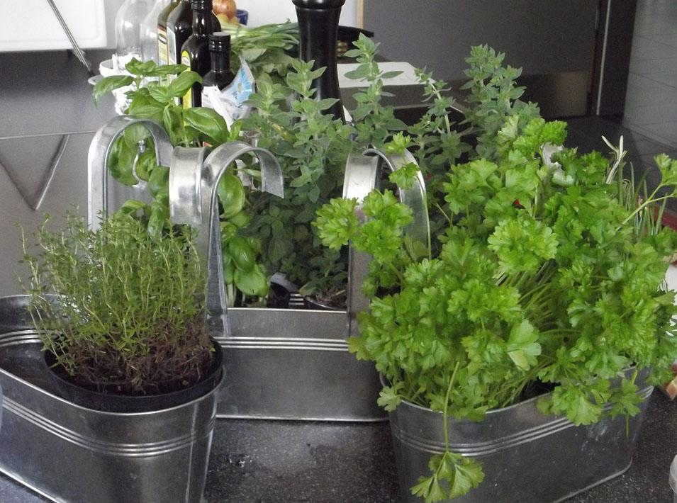 Several herbs planted in pots placed in a kitchen