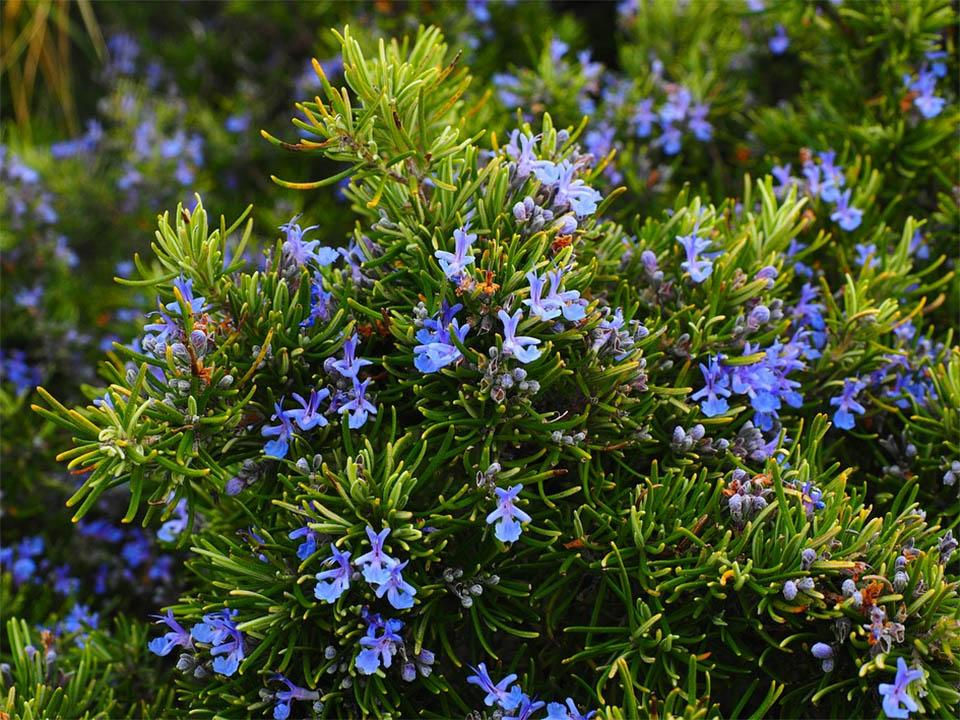 Planted rosemary with blossoming flowers