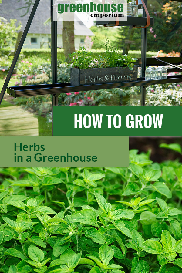 Shelves in a greenhouse with herbs and the text: How to grow herbs in a greenhouse