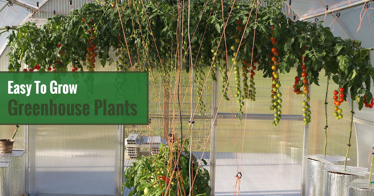 Green and red tomatoes hanging in a greenhouse with the text in the green box saying Easy to Grow Greenhouse Plants