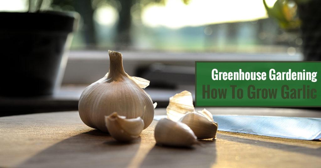 Greenhouse Gardening – How to Grow Garlic?
