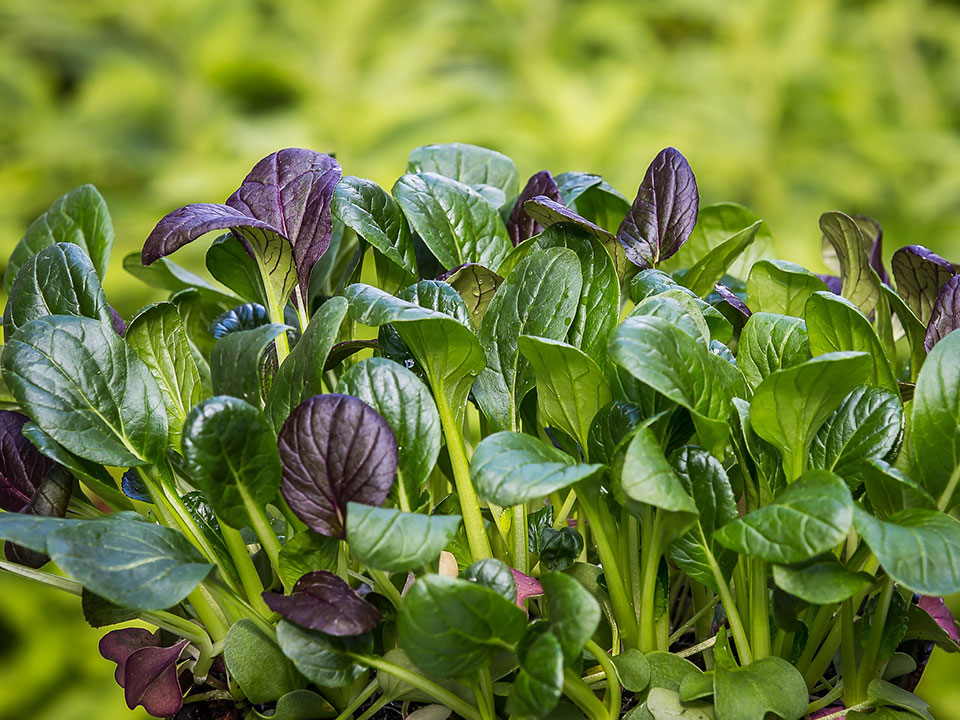 Purple and green spinach leaves