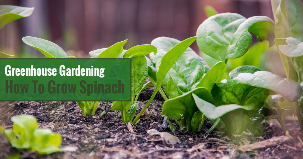 Greenhouse Gardening - How to Grow Spinach?