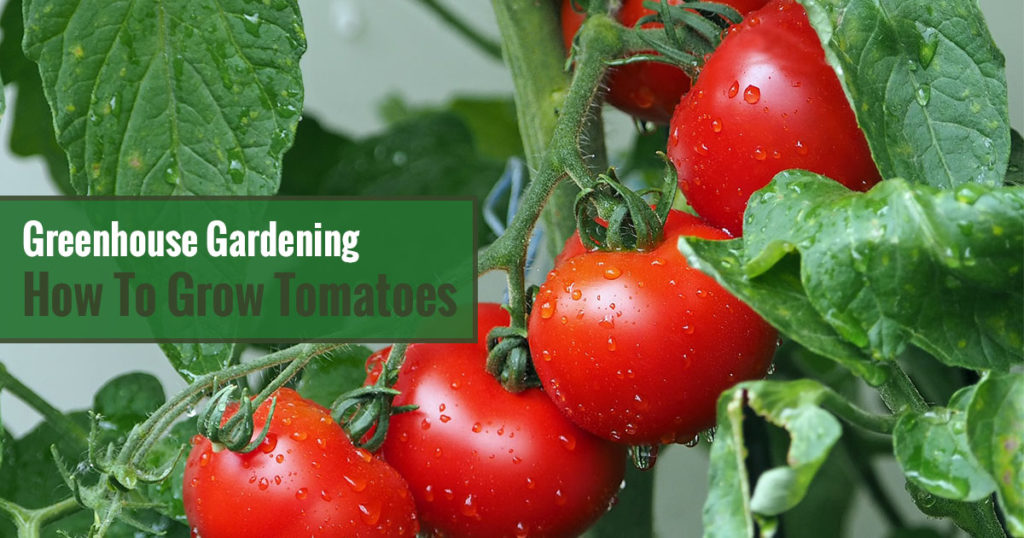 Red tomatoes on the plant with the text: Greenhouse Gardening - How to Grow Tomatoes?