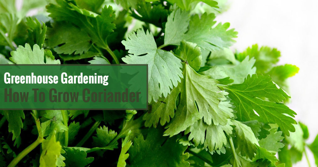 Greenhouse Gardening - How to Grow Coriander / Cilantro?
