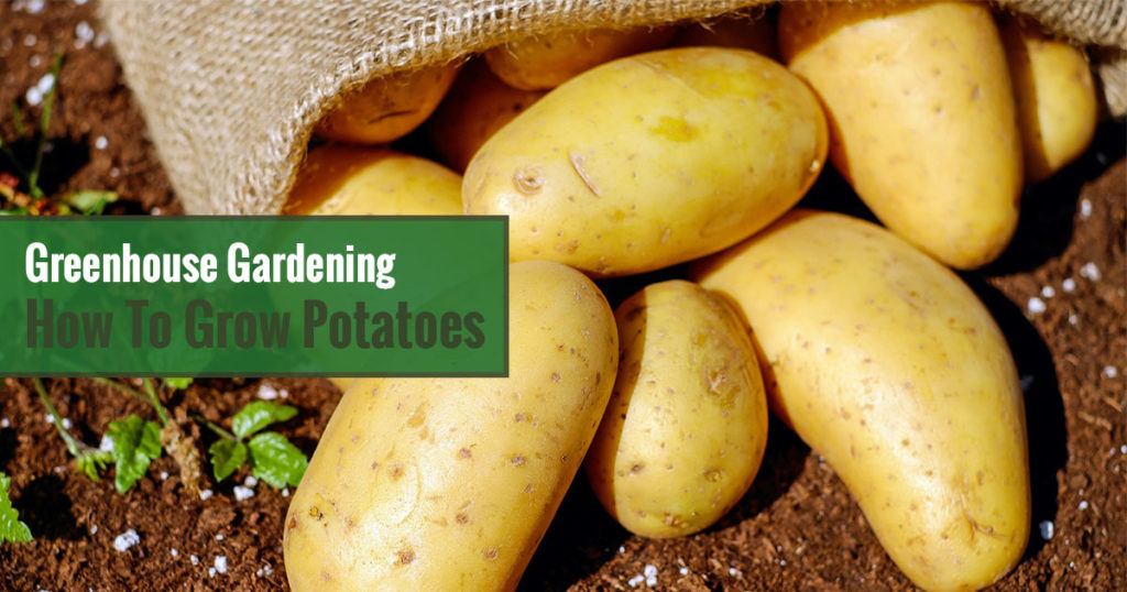 Greenhouse Gardening - How to Grow Potatoes?