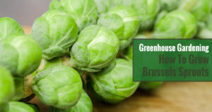 Greenhouse Gardening – How to Grow Brussels Sprouts?